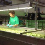 fase della lavorazione delle olive